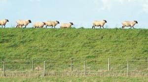 Schafe Nordseedeich